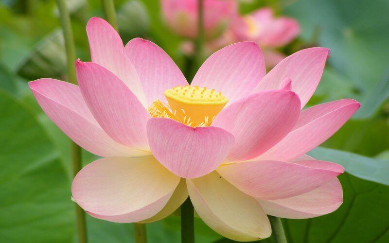 Fleur De Lotus Symbole Floral Emblematique Du Vietnam 360 Indochine