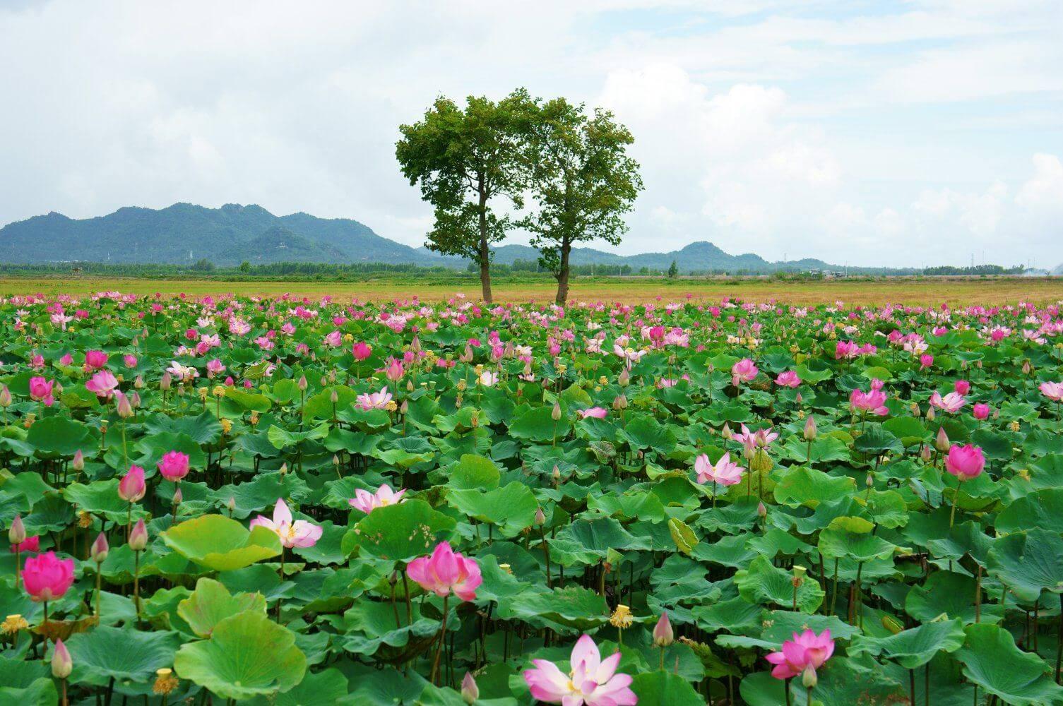 lotus fleur vietnam amica travel