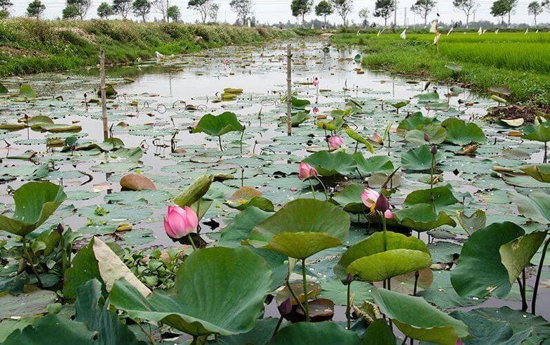 lotus vietnam