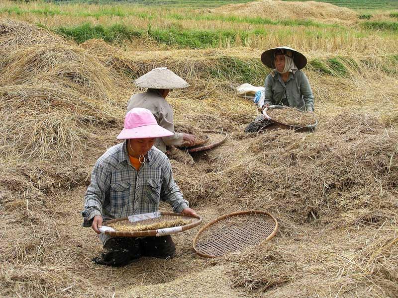 Récolte riz laos