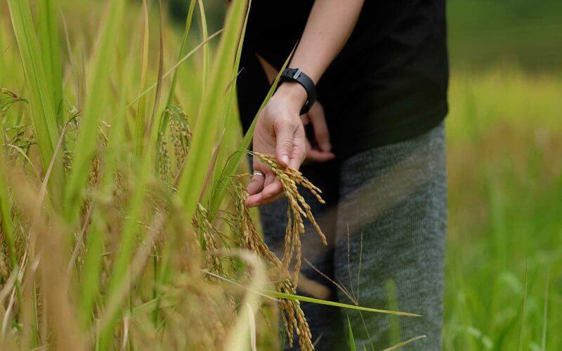 randonnee rizieres en terrasse