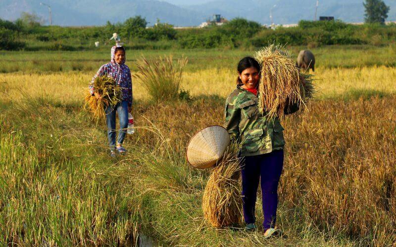recolte du riz sur l'ile quan lan