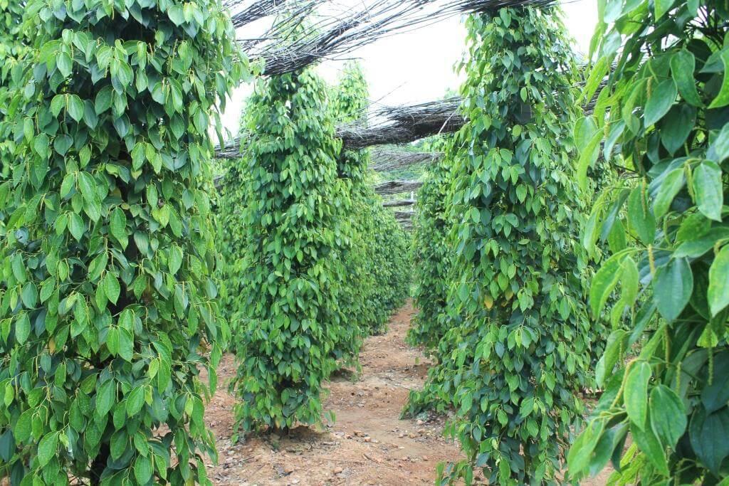 poivre ferme kampot