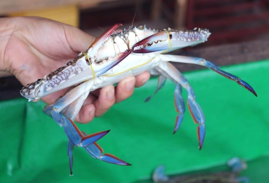 crabe bleu Cambodge